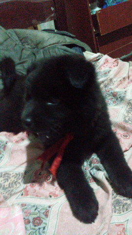 Chow chow - Foto 3