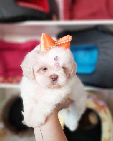 Super promoção! Lindíssima Shih Tzu fêmea R$1.899 - Foto 3