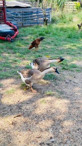Ovos de ganso galado - Foto 2