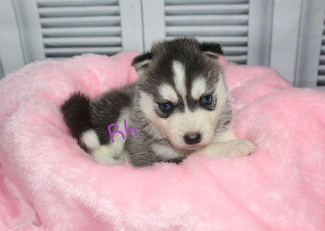 Lindos Filhotes de Husky Siberiano Disponível para Reserva  - Foto 2