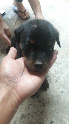 Vende-se cadela  filhote de Rotwiller. - Foto 2