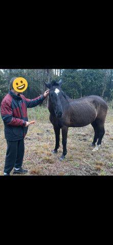 Cavalo crioulo sem papel - Foto 2