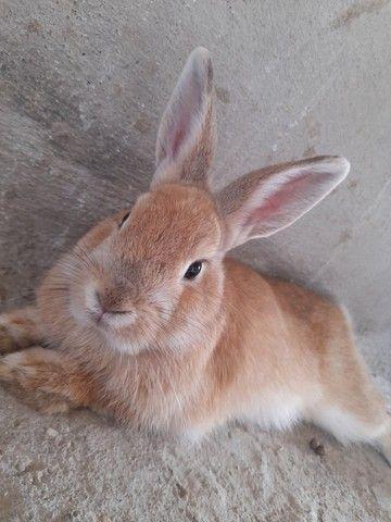 Vendo um mini coelho 6 messes   - Foto 2