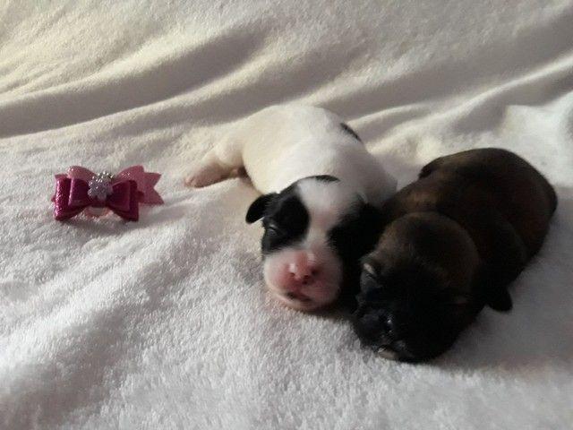 Shih tzu com pedigree. Pequeno Toy (Para reserva) - Foto 3