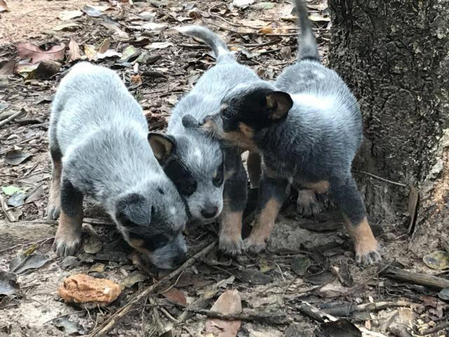 Filhotes Blue Heeler
