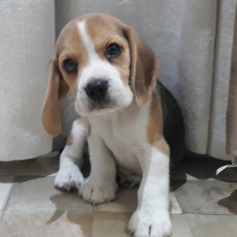 Beagle fêmea seu novo baby