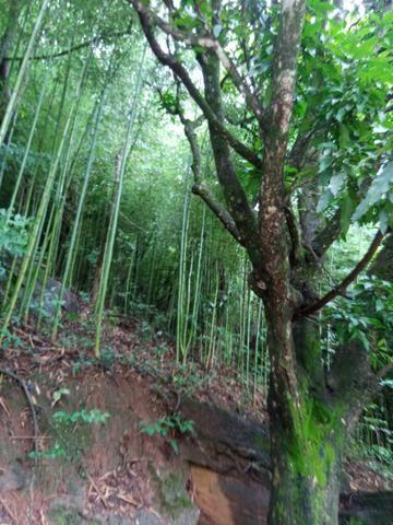 Vendo varas de bambu de fazer moveis - Foto 2