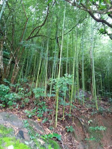 Vendo varas de bambu de fazer moveis - Foto 3