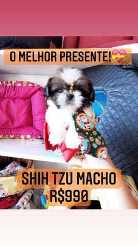 Lindíssimo! Shih Tzu macho  - Foto 3