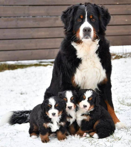 Bernese Mountain