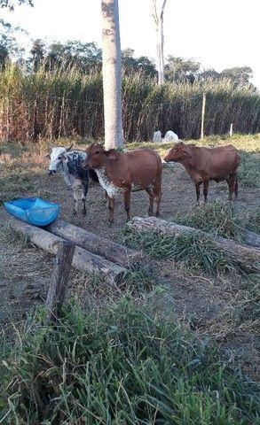 Vende se vacas ? - Foto 2