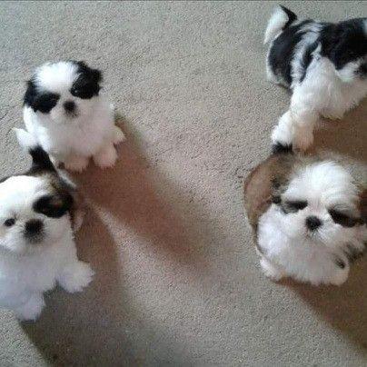 Shih tzu com pedigree. Pequeno Toy (Para reserva)