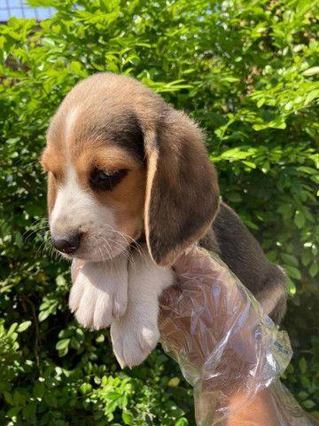 Beagle Filhotes Lindos - Foto 6