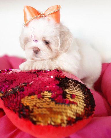Super promoção! Lindíssima Shih Tzu fêmea R$1.899 - Foto 5