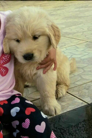 Golden Retriever pedigree e microchip opcional