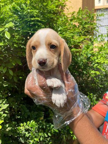 Beagle Filhotes Lindos - Foto 3