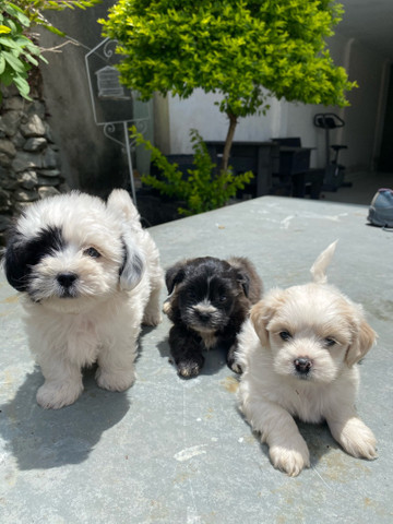 Filhotinhos de mini Lhasa apso  - Foto 2