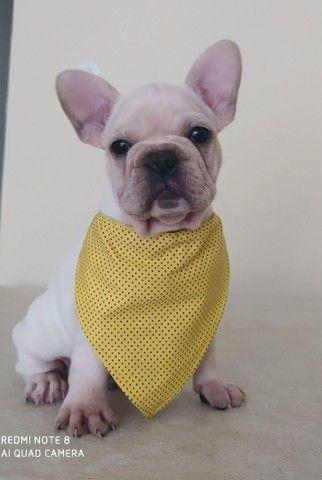 Bulldog francês filhote - Foto 3