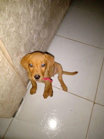 Cachorro labrador por 500 - Foto 3
