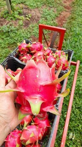 Vende-se muda de pitaya  - Foto 5