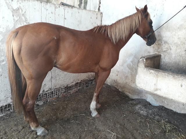 Cavalos pra vendê e trocas - Foto 3