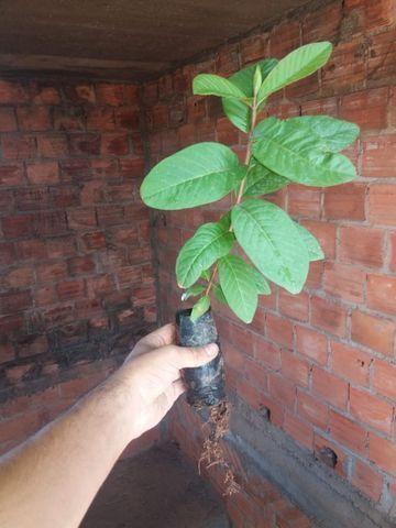 Mudas de Goiaba (Psidium guajava) - Foto 2