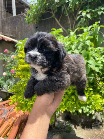 Filhotinhos de mini Lhasa apso  - Foto 5