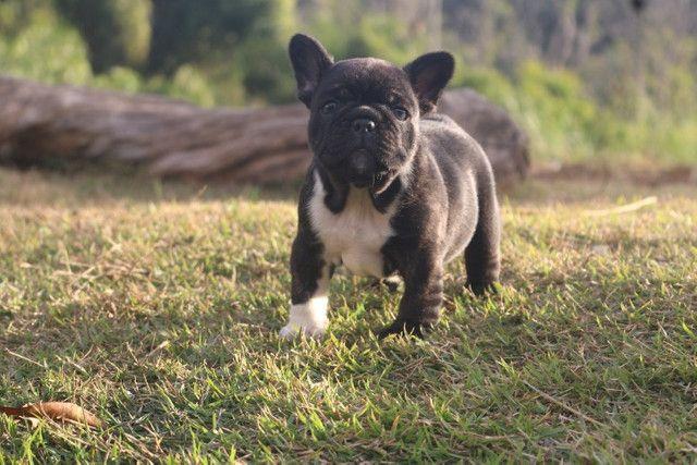 Bulldog Francês Filhote - Foto 2