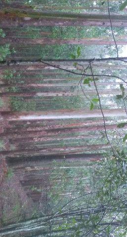 Mato de Eucaliptos - Foto 2