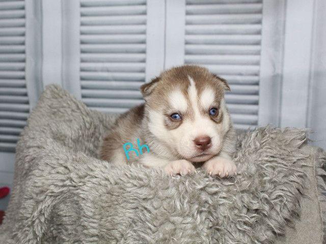 Lindos Filhotes de Husky Siberiano Disponível para Reserva  - Foto 3