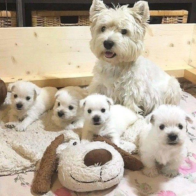 West Terrier Machos e Femeas disponiveis  - Foto 2