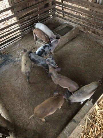 Porca e leitões  - Foto 3
