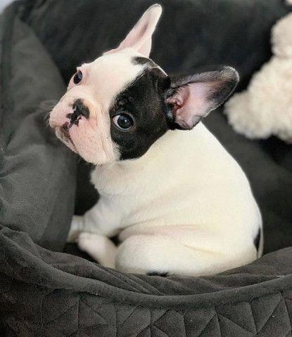 Bulldog Frances macho muito apaixonantes