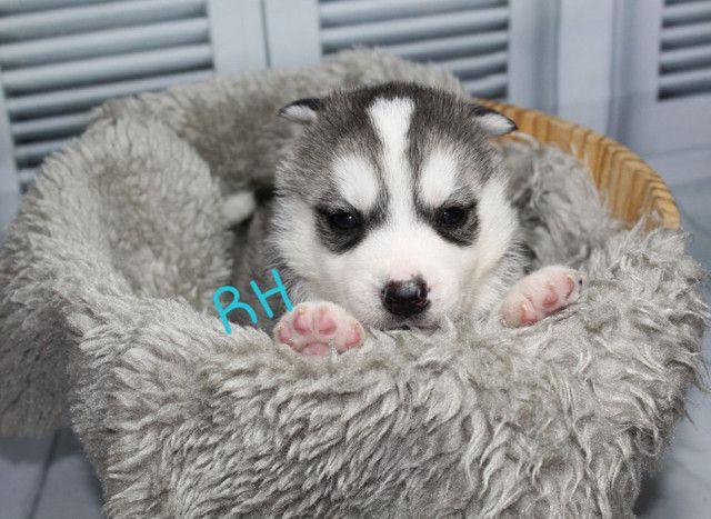 Lindos Filhotes de Husky Siberiano Disponível para Reserva
