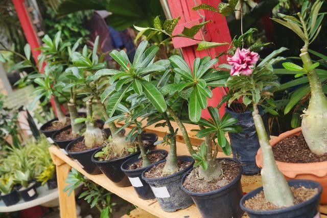 Sementes de Rosa do Deserto (200 Un) - Foto 2