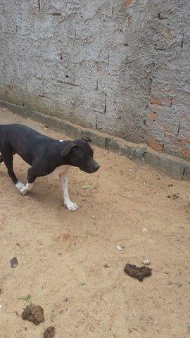 Pitbull terrier  femea 1 ano muito dócil já teve cria com pedigree - Foto 2