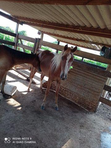 Égua e cavalo - Foto 3