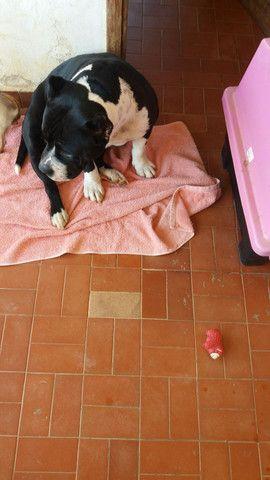 Cachorro American Bully - Foto 2