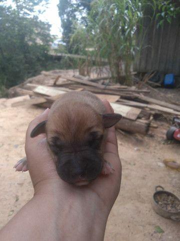 Filhotes pitbull  - Foto 3