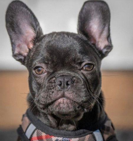 Filhotes perfeitos de Bulldog Francês - Foto 2