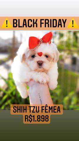 Shih tzu  - Foto 2