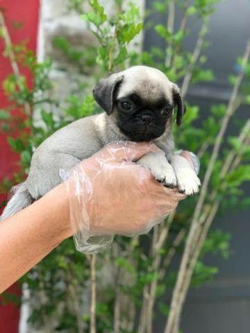 Filhotes de Pug Em loja venha se apaixonar