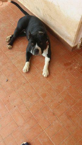Cachorro American Bully - Foto 6