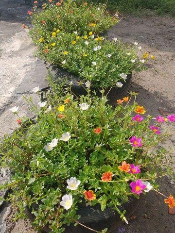 Plantas e Mudas  - Foto 2