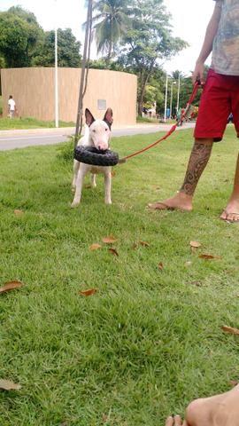 Procuro namorada Bull Terrier