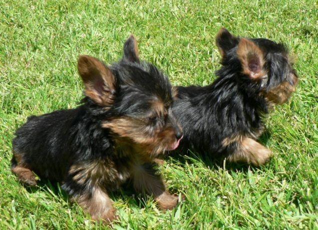 Yorkshire Terrier Micro De Tamanho Adulto 1 5kg 2kg Cachorros