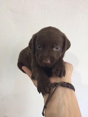 Labrador chocolate/amarelo/preto, machos e fêmeas com garantias e suportes exclusivos - Foto 4