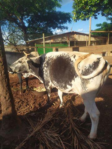 Vaca Leiteira - Foto 2