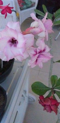 Flora Rosário vende belíssimas Rosas do Deserto!!! - Foto 2