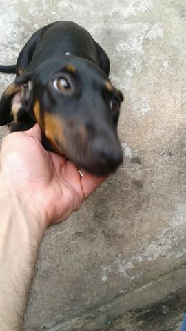 Cão cofap Dashoud